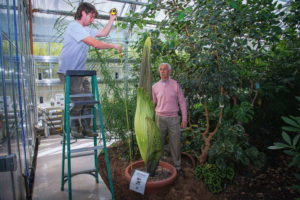 Cornell's Paul Cooper and Bill Crepet measure Wee Stinky, the titan arum that's about to bloom. Photo by Matt Hayes provided.
