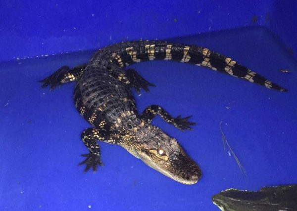 young alligator rescued by dec gets to stay in southern tier
